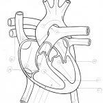 Blank Heart Diagrams To Print | Diagram Link | Heart Diagram Printable Worksheet