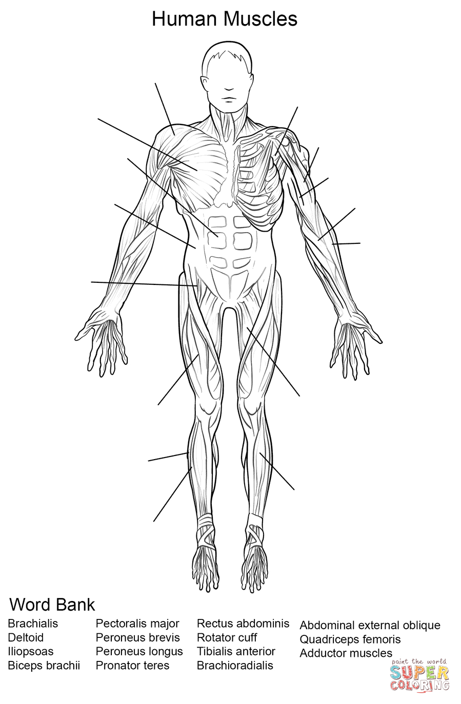Human Muscles Front View Worksheet Coloring Page | Free Printable | Free Printable Human Anatomy Worksheets