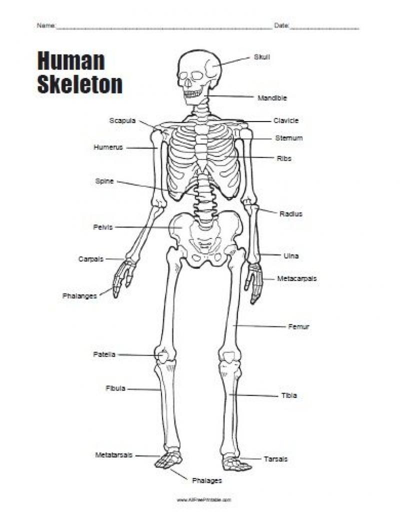 Human Skeleton Bones Worksheet | Tenderness.co | Human Skeleton Printable Worksheet