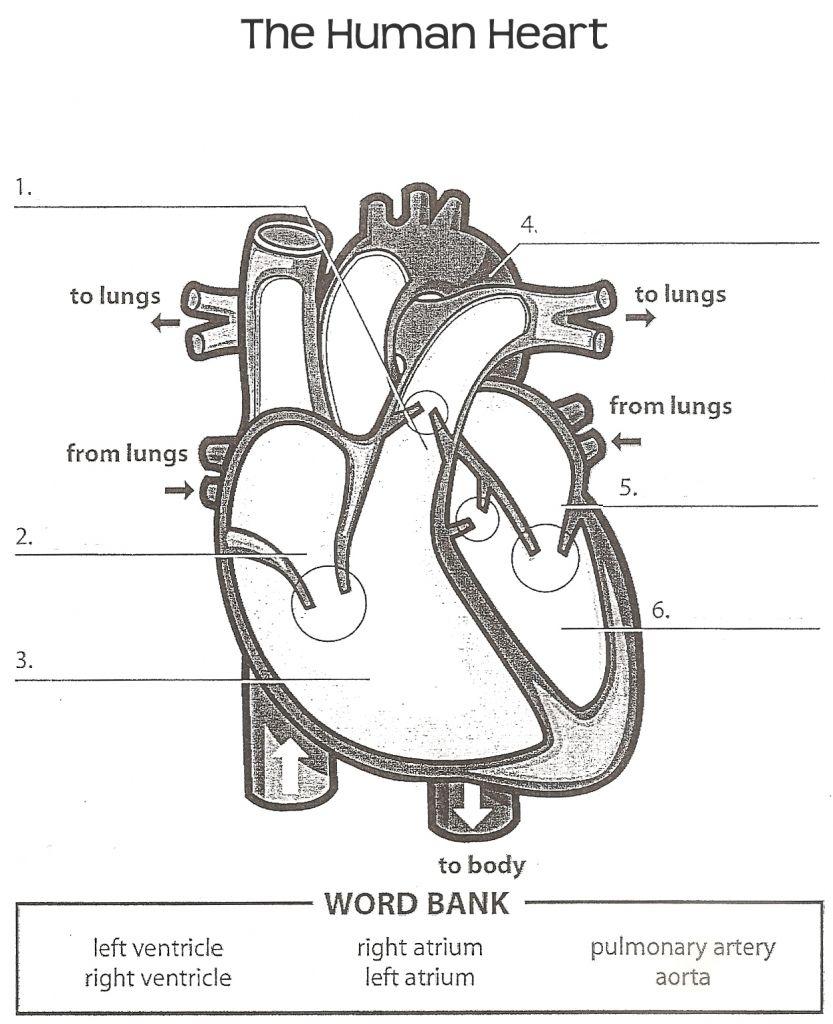Image Result For Anatomy Labeling Worksheets | Heart Anatomy | Heart | Heart Diagram Printable Worksheet