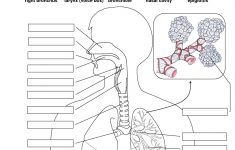 Printable Worksheets On The Lungs