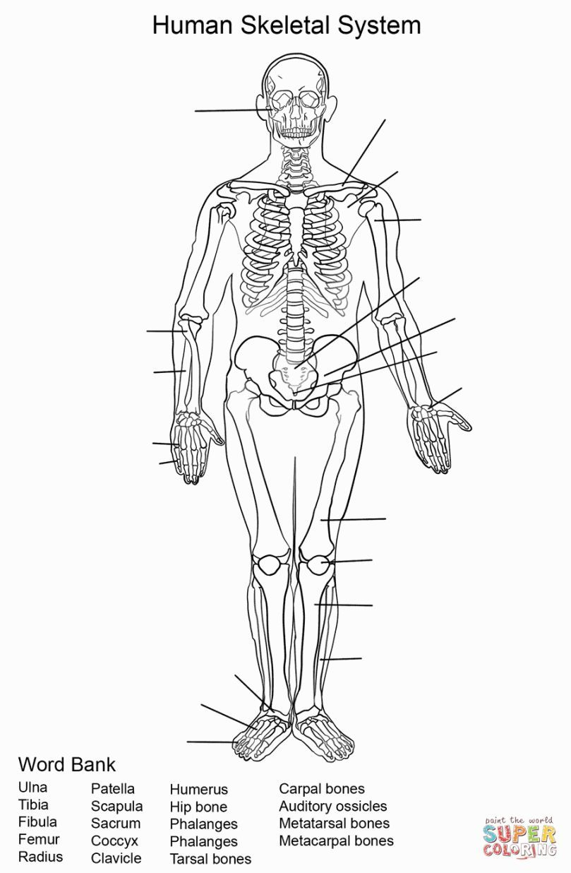 Skeletal System Coloring | Coloring Pages | Skeletal System | Free Printable Human Anatomy Worksheets