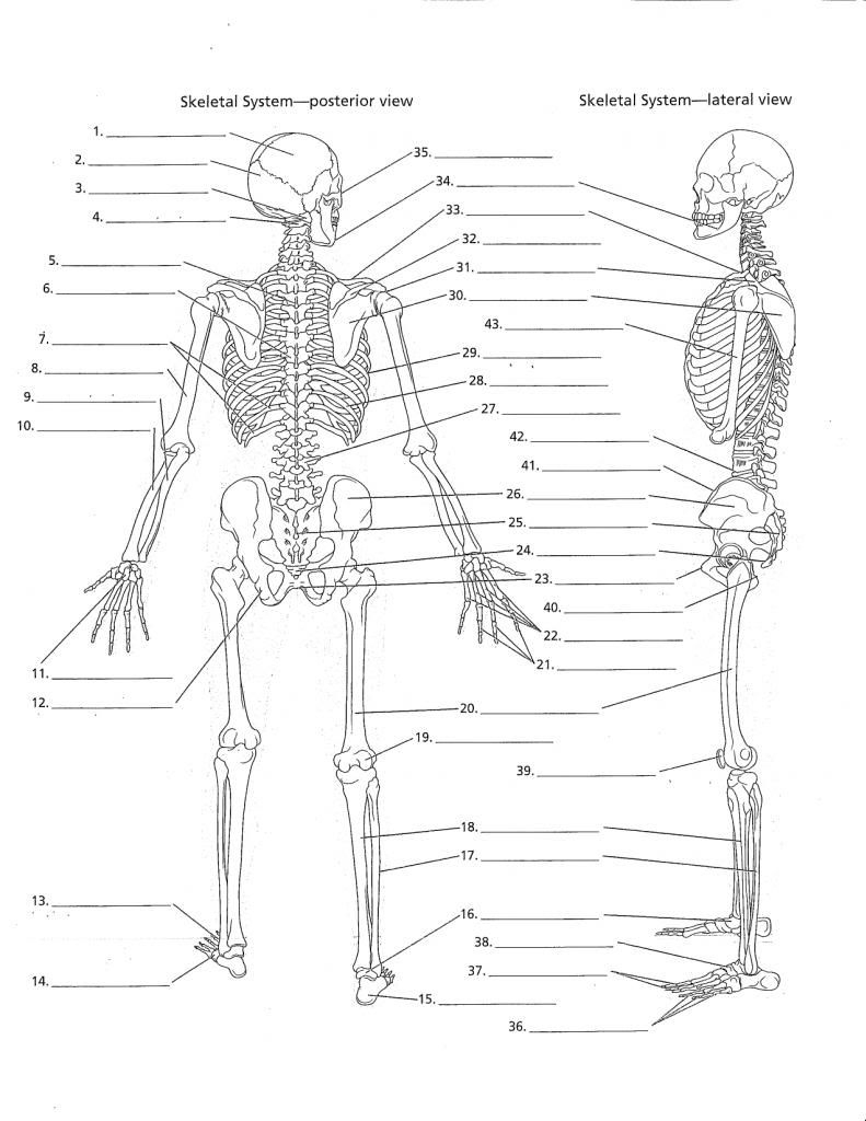 Unlabeled Diagram Of The Human Skeleton . Unlabeled Diagram Of The | Human Skeleton Printable Worksheet